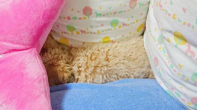 #生後129日 🏠に来て62日目。  隅に入らないようにしてたのに入るから、コレが最終的…。 #パピー  #トイプードル #愛犬  #犬との暮らし #poodles #クッションとクッションの間 #poodleslove  #pappy #いぬ  #生後4ヶ月 #dog  #instadog  #トイプードル大好き  #こいぬ #ふわもこ部  #パピー犬  #プードル子犬  #子犬  #プードルアプリコット  #プードルクリーム #poodleapricott  #親バカ部  #トイプードル部  #instadog #可愛い  #toypoodle #poodles