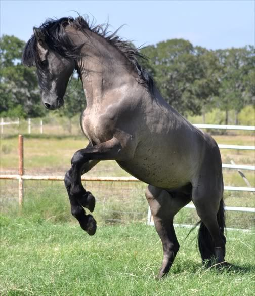 Kiger Mustang Horses | Kiger Mustangs - Charro!!