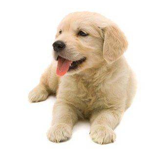 Cute Light Golden Retriever Blonde Dog Name...