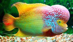 Cuidados del pez Flower Horn - http://www.depeces.com/cuidados-del-pez-flower-horn.html