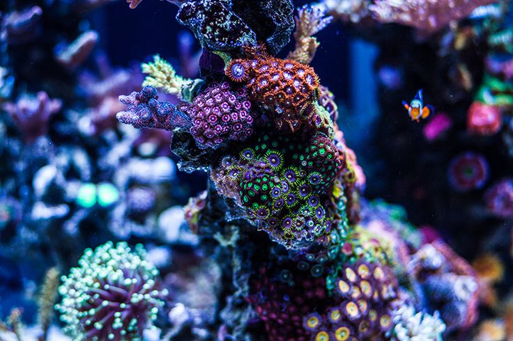 17 best images about nano reef tanks on pinterest 3 year for Nano saltwater fish