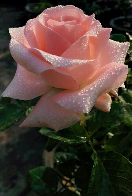 Sweet Rose Flower.