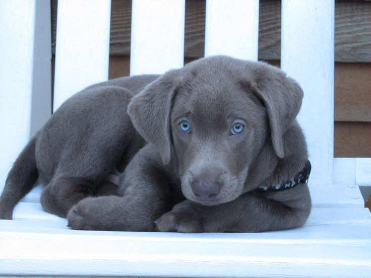 Silver Labs With Blue Eyes