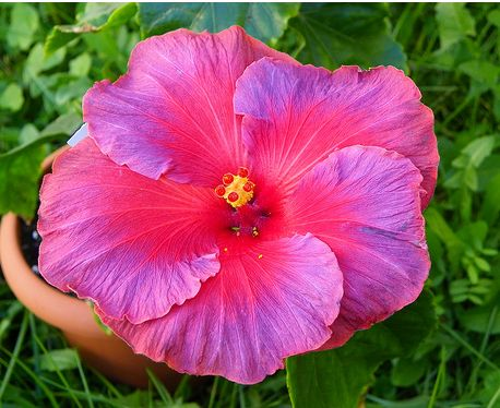 Hibiscus rosa sinensis Nightfire flower in beautiful pink and purple colors