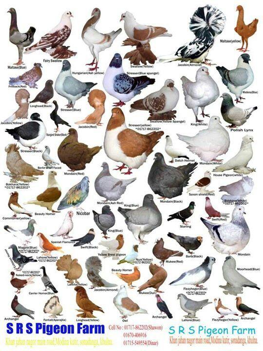 Pigeons Around The World