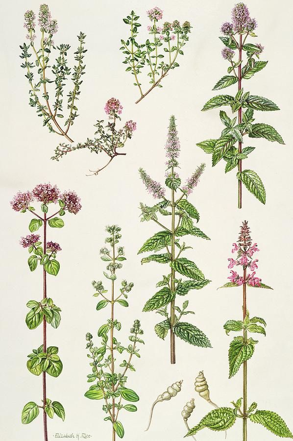 Lemon; Garden; Caraway; Peppermint; Spearmint; Marjoram; Sweet; Chinese Artichoke; Botanical; Thym; Marjolaine; Menthe; Cumin; Flower; Flowers; Leaf; Leafs; Leafy; Thyme; Herb; Herbs Painting - Thyme And Other Herbs by Elizabeth Rice