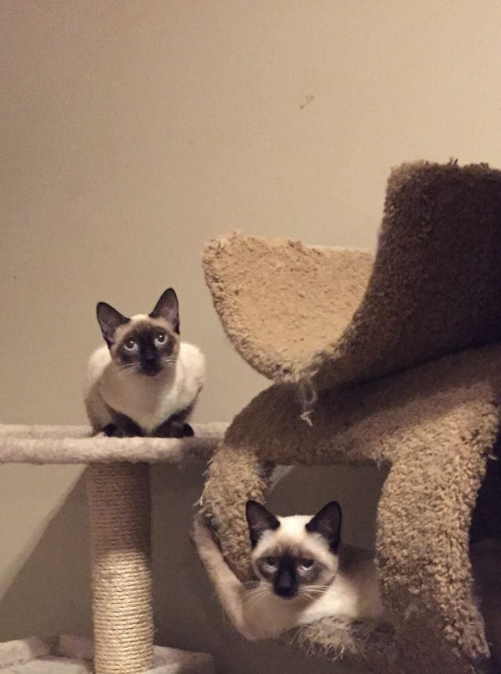 Adopt Aria And Grace On Siamese Cats Cats Pets Cats