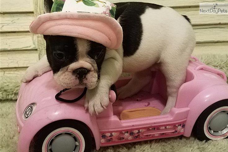 French Bulldog puppy for sale near Houston, Texas | a1a3ff21-9361