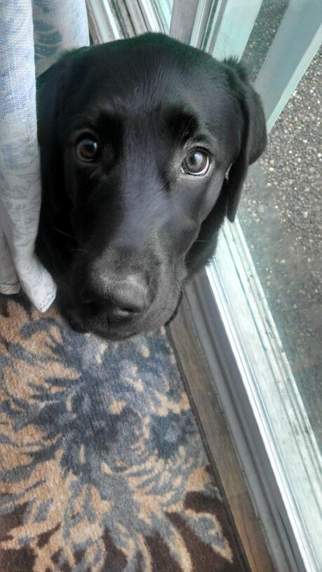 Black lab puppy ..Daisy