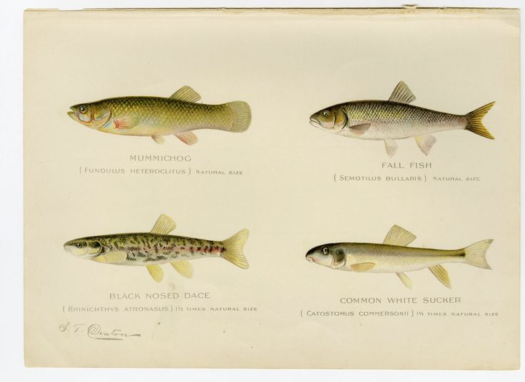 1898 Antique Fish Print  4 Fish Varieties Sherman F. Denton Chromolithograph New…