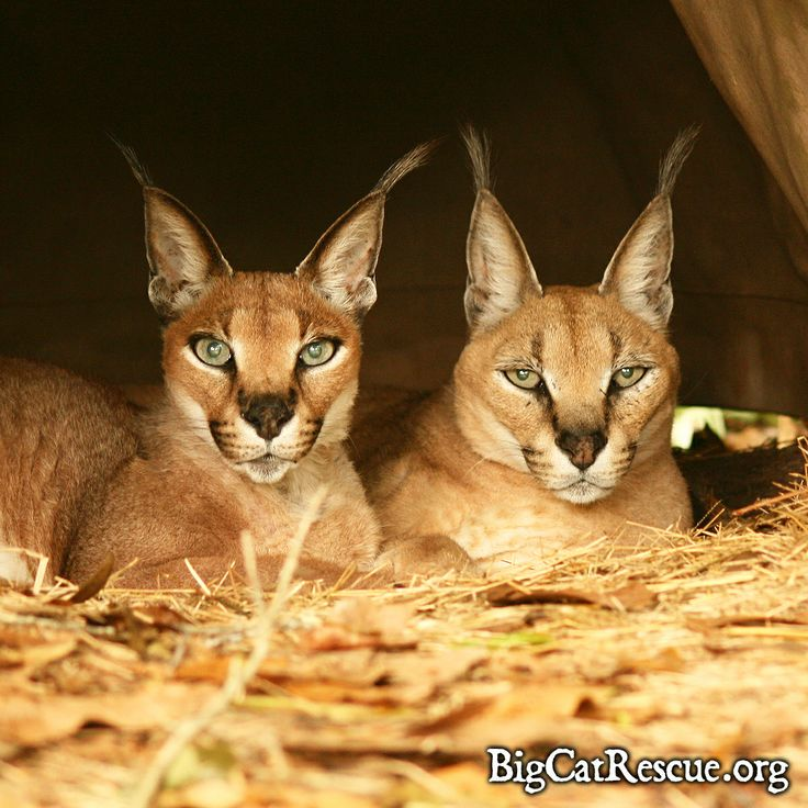 Pin by Big Cat Rescue on Big Cat Rescue | Animals, Animals ...