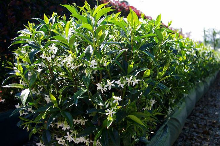 how to choose and plant hedges
