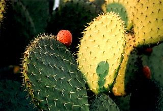 Los increíbles beneficios del nopal para adelgazar han hecho de este fruto uno de los remedios para bajar de peso más populares. ¡Conoce sus secretos! El nopal, conocido bajo el nombre científico Cactus Opuntia, es un fruto originario de América latina, desde donde se ha extendido al mundo, gracias a sus propiedades medicinales. Dentro de […]