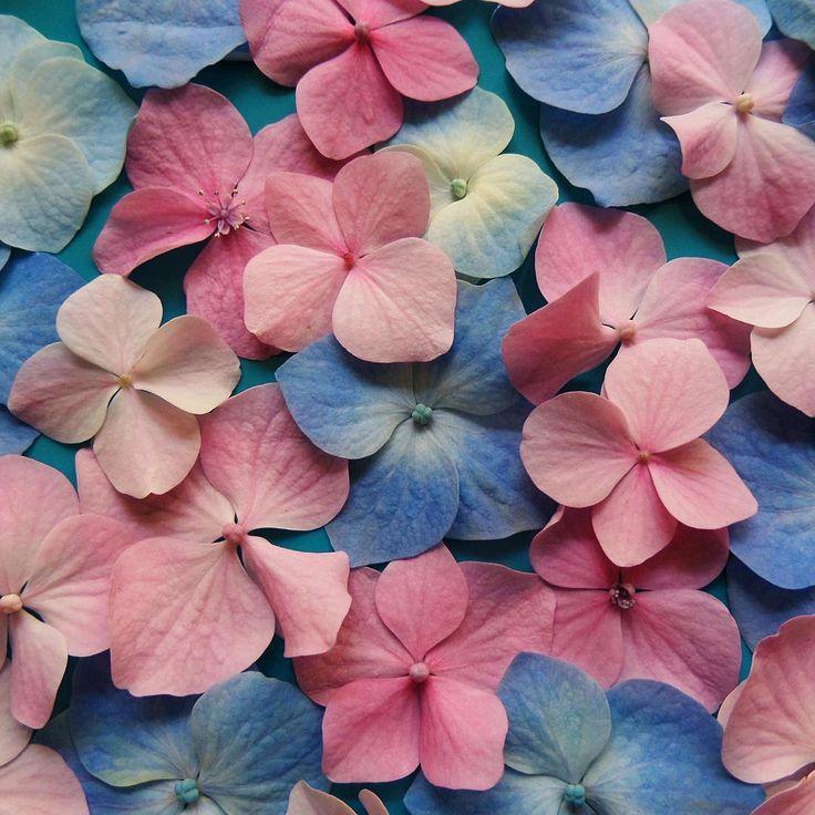 Bu gece bir instagram klişesi olasım var😂  Benim en sevdiğim çiçek ortanca, mavi ortanca!  Seninki? 🙍🏻