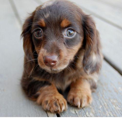 Green-eyed mini doxie!