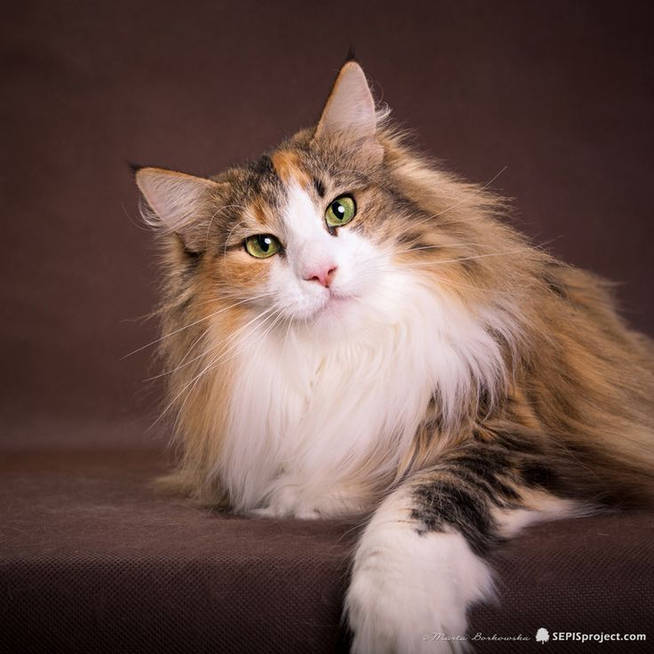 Welcome on Norwegian Forest Cats cattery from Poland - Kiyo'Kag*PL