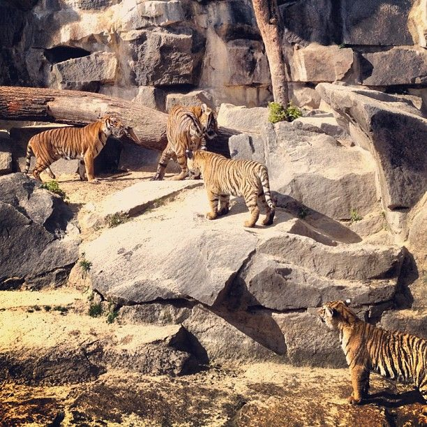 tiger pit