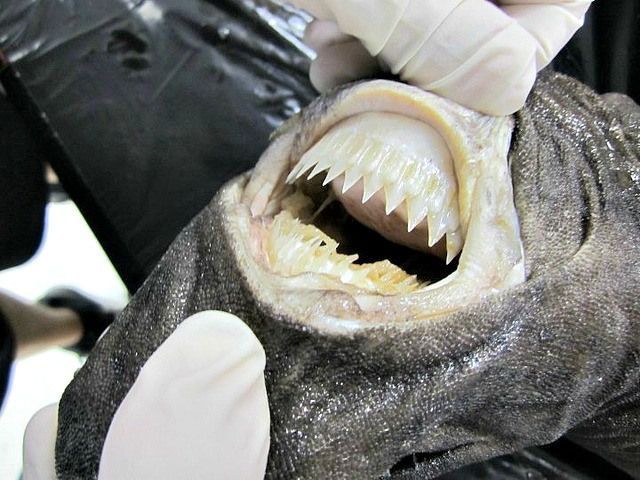 Cookie Cutter Shark's teeth. Cookie Cutter Shark - Cool and Interesting Facts for Kids