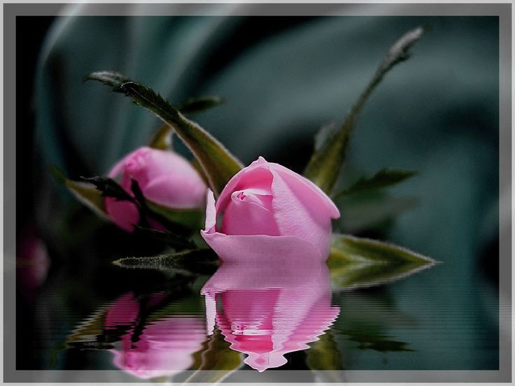 Beautifulest: Pink Flower, Water Reflections, Pink Roses, Beauty Photography, Water Photography, Pink Reflections, Beauty Roses, Beauty Flower, Roses Water