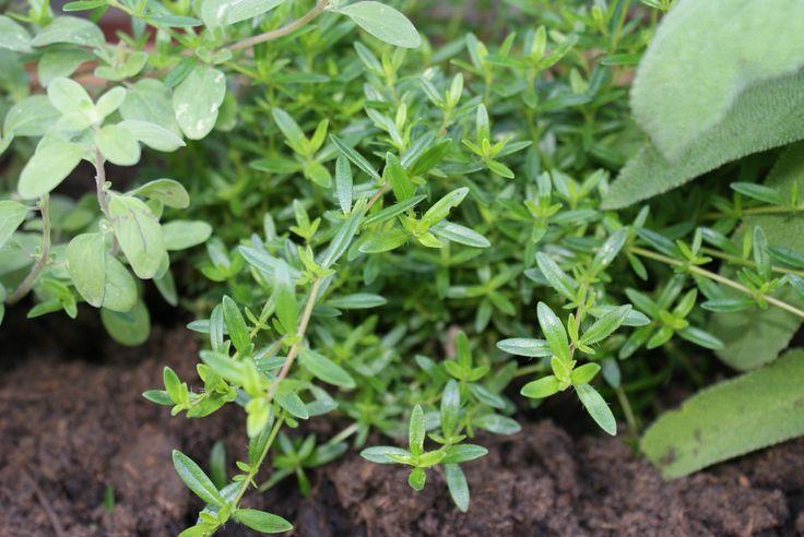 Bonenkruid, zoals die in een van mijn kruidenbakken staat hoort voor mij bij jonge tuinbonen. Dat is echt genieten van de zomer.