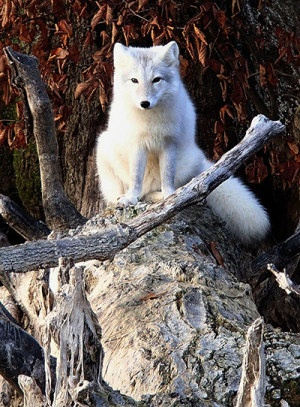 Week in Wildlife: A white fox on a log on the shore near Hudson, Illinois (beautiful)