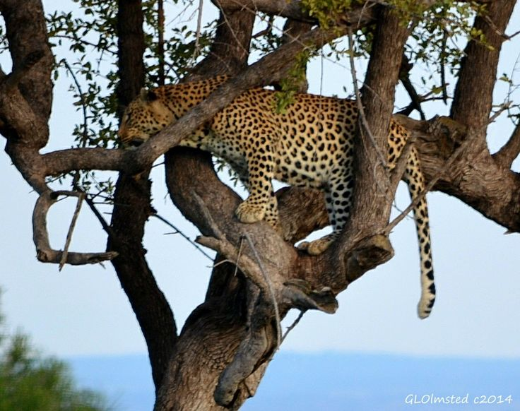 Leopard seen at Pilanesburg Game Reserve South Africa.     #SAdvrstyEcoTour http://geogypsytraveler.com/2014/04/04/foto-friday-fun-53/