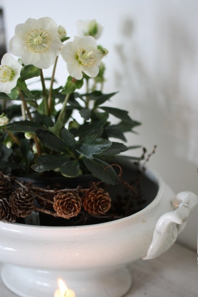 A Christmas Rose (helleborus niger) in a tureen with a wreathe of larch pinecones - beautiful, natural decoration!