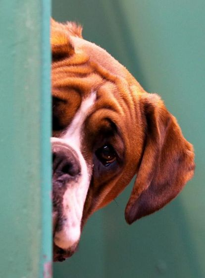 boxer dog love x that face!!!!!!!!!!!!!!!!111