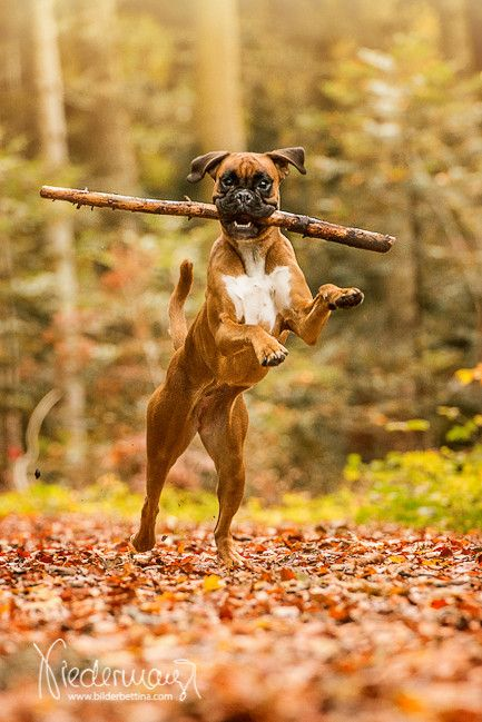 American Bulldogen von Maraike – Pferdefotografie, Hundefotografie, Fotografie Bettina Niedermayr Pferde – Mensch & Pferd – Hunde- Portrait – Stallsch…