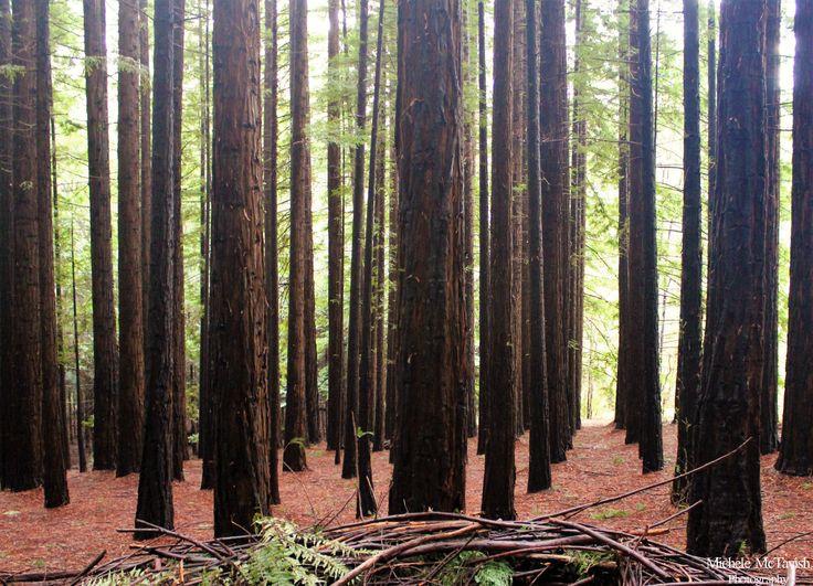 Redwood Forest , East Warburton Victoria