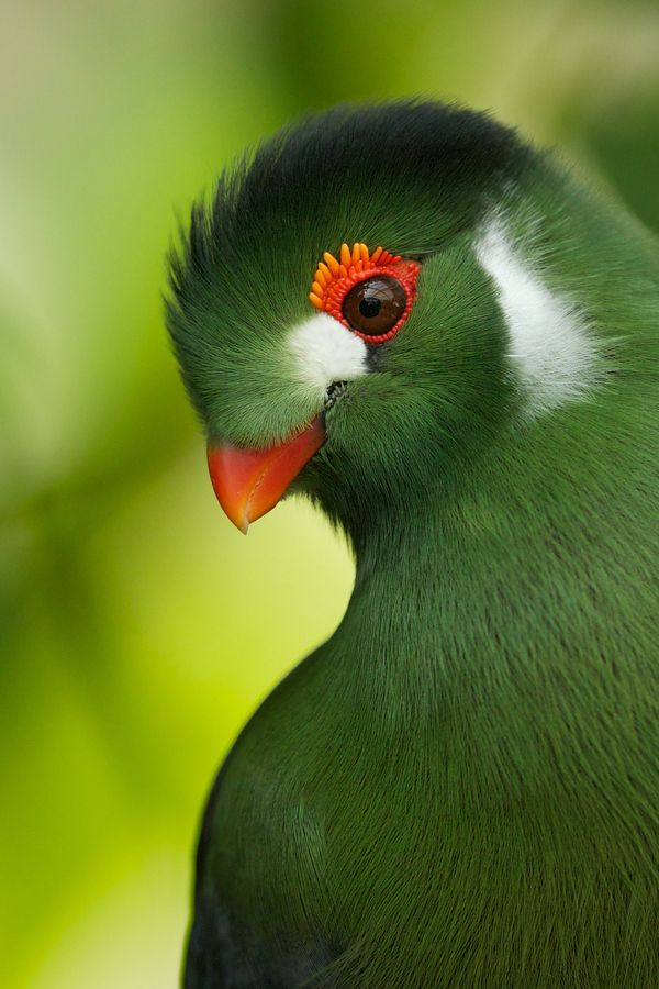 "wow. probably the sharpest, most focused bird shot you'll ever see: ""turaco"" by Michael Rumiz, via 500px"