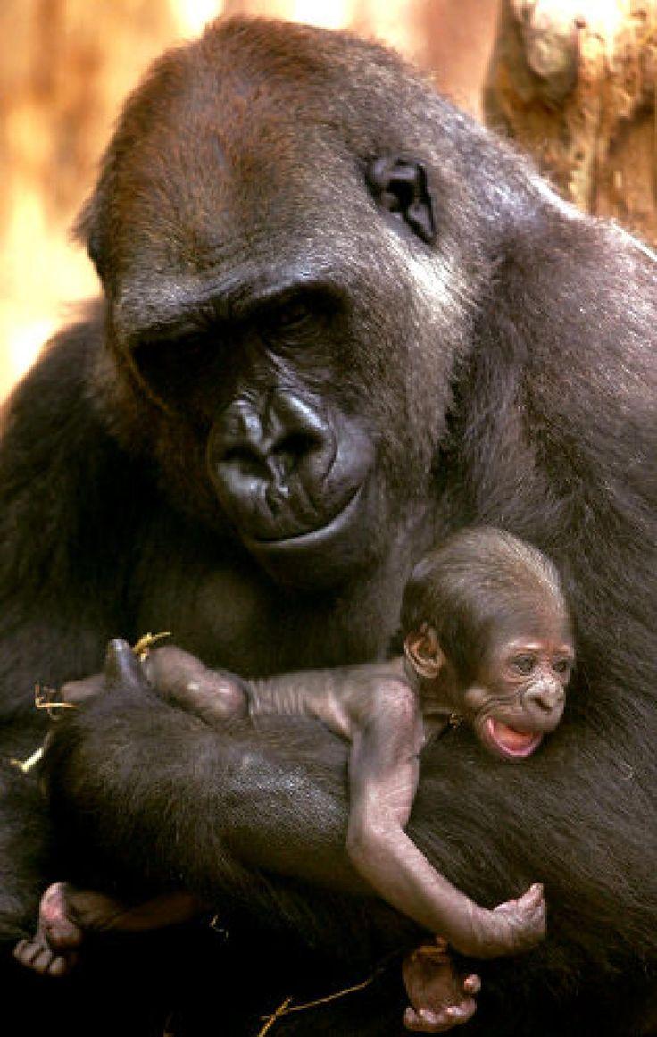Baby animals photos baby animals ny daily news - Gorilla Mom And Baby