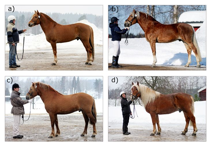 Finnhorse stallions of four different types: a) Trotter type, b) Riding horse type, c) Pony-sized type, d) Draught horse type