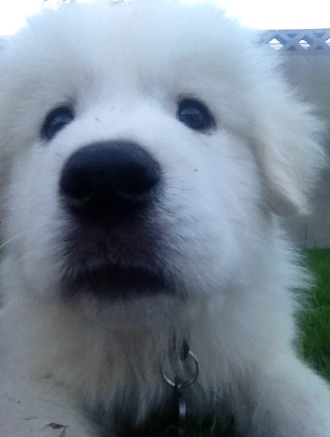 My Great Pyrenees puppy, Jake. <3