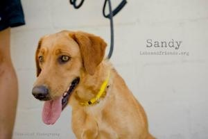 Sandy ADORABLE SUPER SWEET GIRL! is an adoptable Labrador Retriever Dog in Burbank, CA. Woof Woof! My name is Sandy and I'm a 1 year old Spayed Female Labrador Retriever possibly mixed with Golden Ret...
