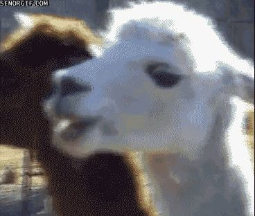 A llama that's wise to your shenanigans:
