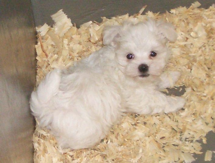 Maltese Puppy For Sale In Carrollton Ga Adn 69288 On Puppyfinder