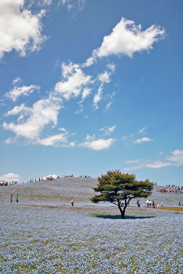 Japanese park matches flowers to the sky at the Hitachi Seaside Park in Japan