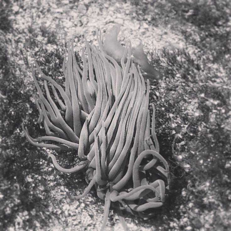 Nadando bajo el mar. #photography #sea # anemone #fotografía # anémona