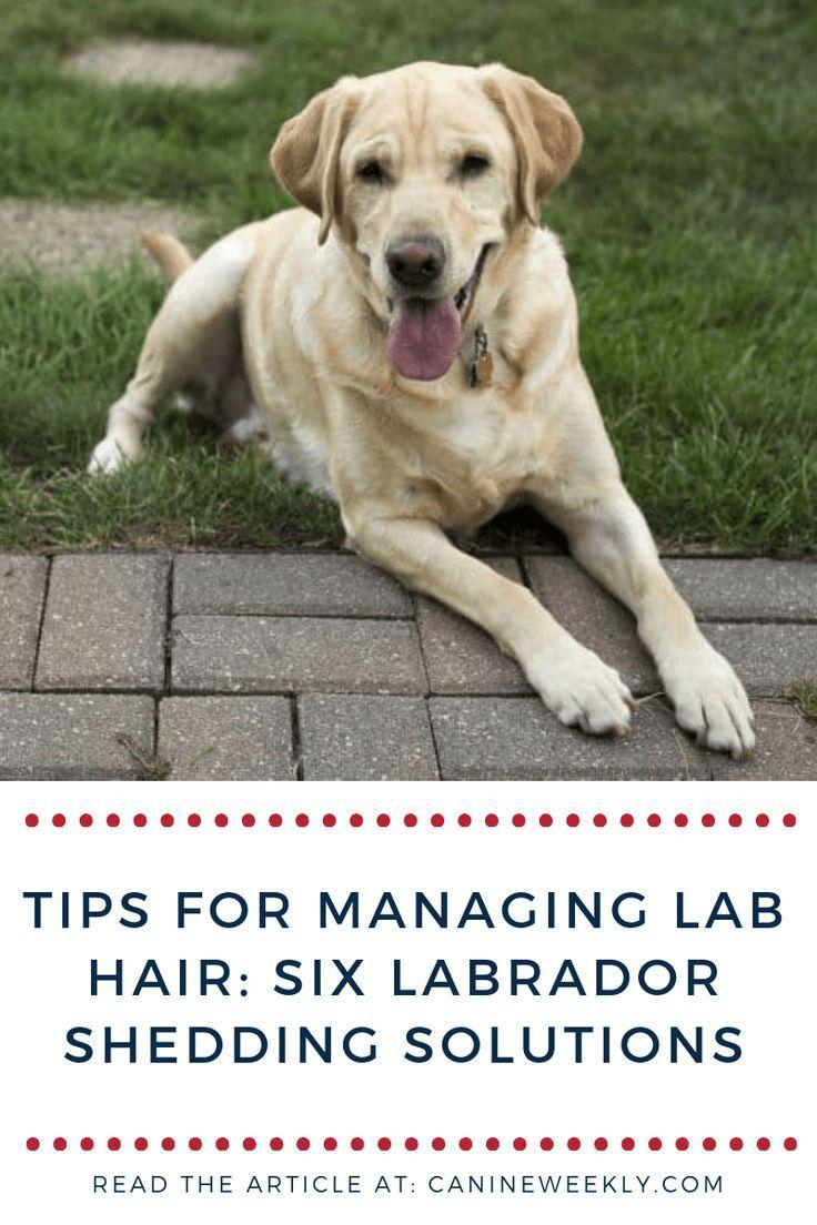 Do Labs Shed A Lot Labrador Retriever Shedding Guide 2019 Dog