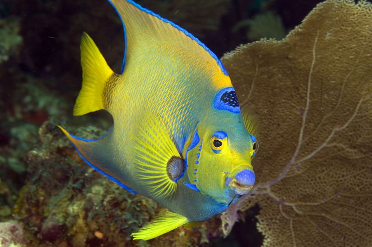 17 best images about dive belize 39 s barrier reef on for Queen angel fish