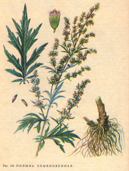 Sagebrush illustration. Полынь обыкновенная