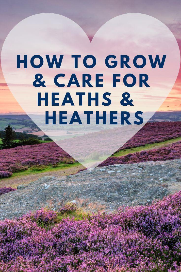 How To Grow And Care For Heaths And Heathers Heathe Grow Care Plant Colour Allyear Allseason Colourful Pinks Purple Heath Plant Heather Plant Growing
