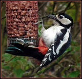 'Our' Woodpecker