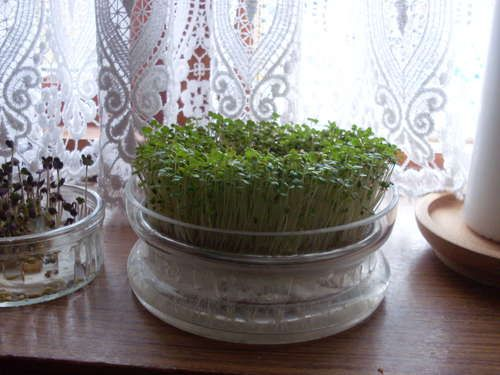Grow your own sprouts.