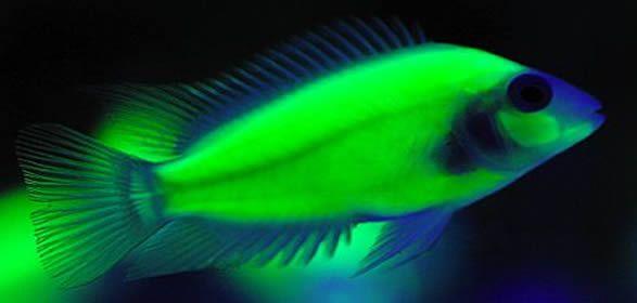 Glow fish freshwater glow in the dark cichlids for Glow in dark fish