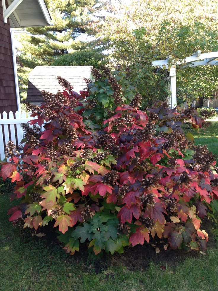 Oak Leaf Hydrangea. Great flowering shrub that also has beautiful fall foliage.