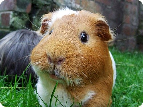 What a cute little face! I miss our little pigs.
