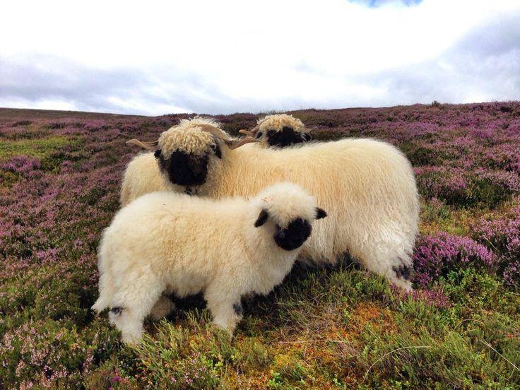 Black Nose Sheep from Scotland