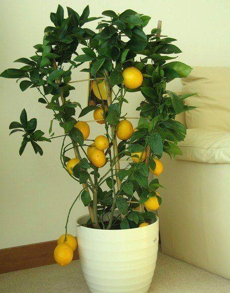 С чего начать выращивание лимона дома